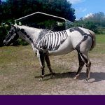 Horse skeleton painted on a live horse