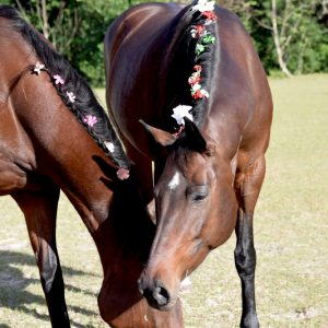 two bay mares with thier manes done up in flowers
