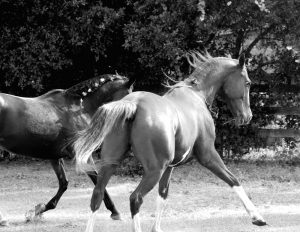 two horses dancing together like fred and ginger in black and white